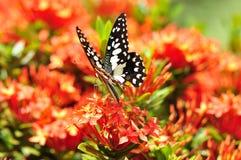 Fleurs rouges d'ixora Photo stock