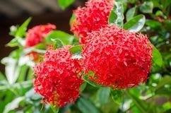Fleurs rouges d'Ixora ou fleurs de transitoire photo libre de droits