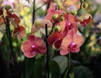 Fleurs rouges d'orchidée de Phalaenopsis sur la transitoire Photos libres de droits