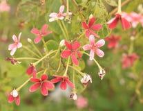 Fleurs rouges d'usine de jade Photographie stock