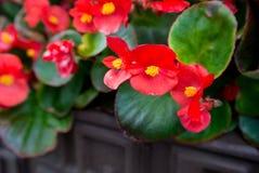Fleurs rouges dans des bacs Photos libres de droits