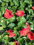 Fleurs rouges de ‹de Hibiscus†photo stock