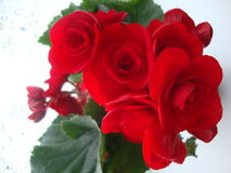 Fleurs rouges de bégonia sur le fond blanc Photos stock