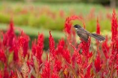 Fleurs rouges de belle crête dans le domaine avec l'oiseau sur le dessus de lui Photos stock