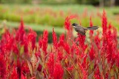 Fleurs rouges de belle crête dans le domaine avec l'oiseau sur le dessus de lui Images libres de droits