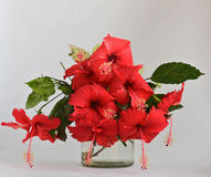 Fleurs rouges de belle ketmie en gros plan dans le backgro de vase et en bois Photo libre de droits