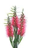 Fleurs rouges de brosse de bouteille sur le fond blanc Images libres de droits
