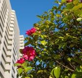 Fleurs rouges de camélia Photo stock