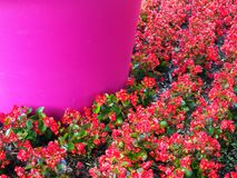 Fleurs rouges de couverture végétale Photo stock