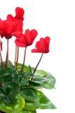 Fleurs rouges de cyclamen Photographie stock