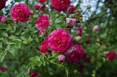 Fleurs rouges de floraison de Rose Photo libre de droits