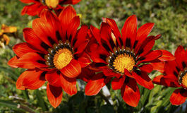 Fleurs rouges de gazania Images stock