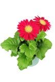 Fleurs rouges de gerbera dans un bac Images libres de droits
