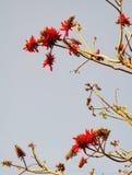 Fleurs rouges de groupe d'arbre de corail indien Image stock