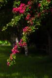 Fleurs rouges de hawthorne Photos libres de droits