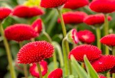 Fleurs rouges de jardin Photo libre de droits