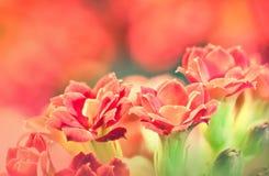 Fleurs rouges de kalanchoe utilisées comme fond Photographie stock