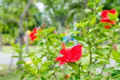 Fleurs rouges de ketmie dans le jardin Photographie stock