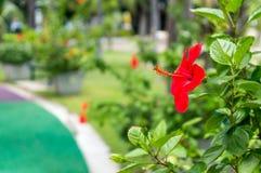 Fleurs rouges de ketmie dans le jardin Photos stock