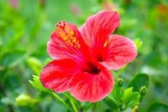 Fleurs rouges de ketmie dans le jardin tropical Photographie stock