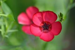 Fleurs rouges de lin, usitatissimum de Linum Photo libre de droits