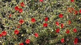 Fleurs rouges de multiple de ketmie Image libre de droits