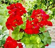 Fleurs rouges de pélargonium pendant de l'arbre photographie stock