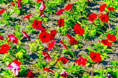 Fleurs rouges de pétunia dans le parterre photos libres de droits
