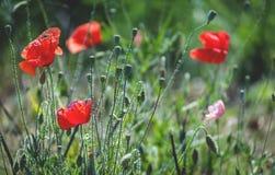 Fleurs rouges de pavot Images libres de droits