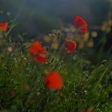 Fleurs rouges de pavot photos stock