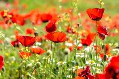 Fleurs rouges de pavot Photo libre de droits