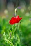 Fleurs rouges de pavot de foyer mou Photos stock