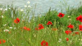 Fleurs rouges de pavot sur le pré clips vidéos