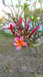 Fleurs rouges de plumeria photos stock