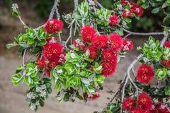 Fleurs rouges de pohutukawa Photographie stock