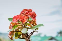 Fleurs rouges de POI Si-ngan avec le fond de nature photographie stock