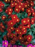 Fleurs rouges de Primula photos libres de droits