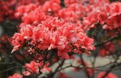 Fleurs rouges de rhododendron Image libre de droits