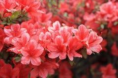Fleurs rouges de rhododendron Photographie stock