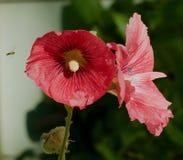 Fleurs rouges de rose trémière contre le vert Photo stock