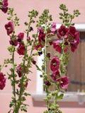 Fleurs rouges de roses trémière Photo libre de droits