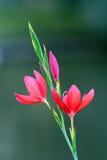 Fleurs rouges de safran photographie stock libre de droits