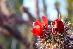 Fleurs rouges de Saguaro Image stock