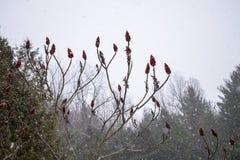 Fleurs rouges de sumach pendant les chutes de neige Image libre de droits