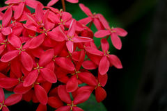 Fleurs rouges de transitoire, texture rouge de fleurs Photographie stock