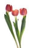 Fleurs rouges de tulipe en fleur Photo stock