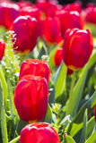 Fleurs rouges de tulipes Photos libres de droits