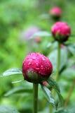 Fleurs rouges en Amérique Image stock