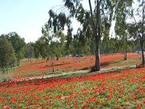 Fleurs rouges en Israël du sud Photographie stock libre de droits