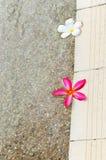 Fleurs rouges et blanches de plumeria Image stock